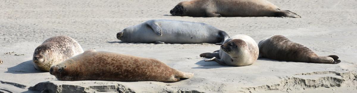 Des phoques gris (Halichoerus grypus) et des phoques veau-marin (Phoca vitulina) dormant paisiblement